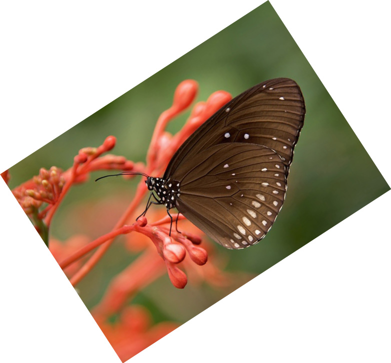In this example we rotate a JPG picture of a butterfly by 33 degrees.